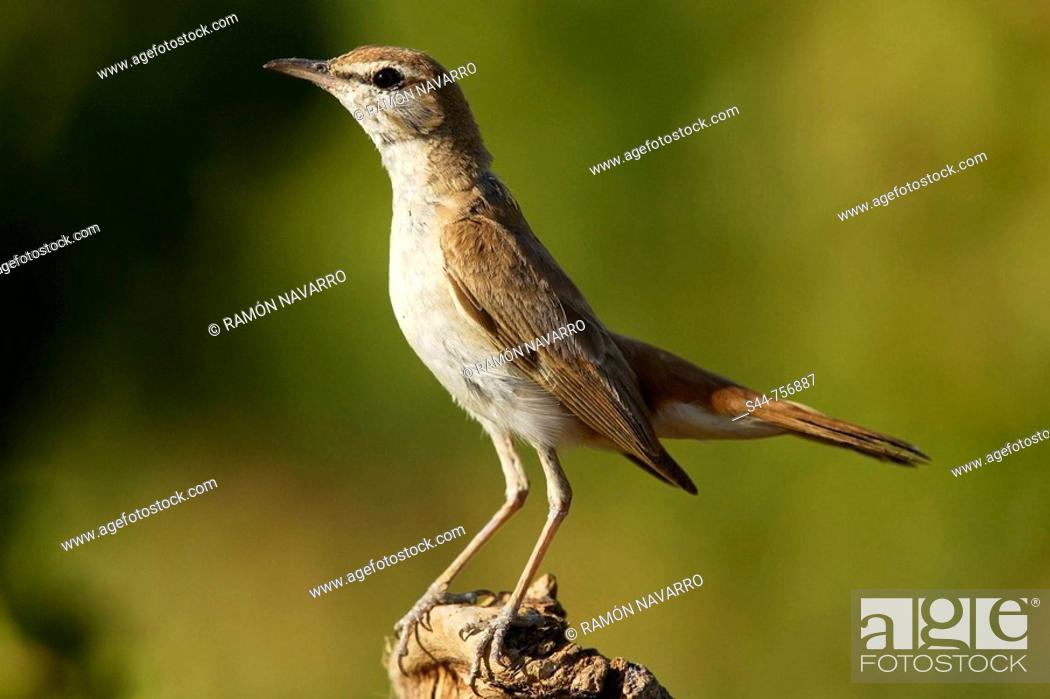 Stock Photo: Rufous Bush Robin (Cercotrichas galactotes).