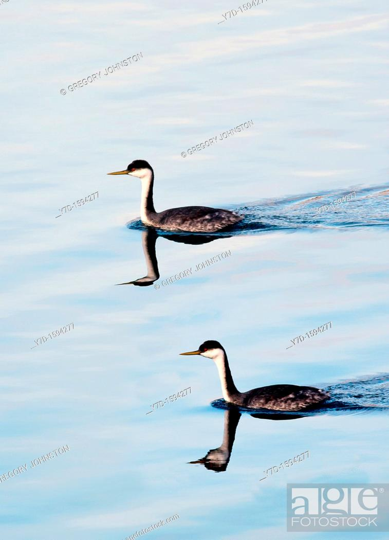Stock Photo: Two horned grebe in winter plumage swimming in a lake.