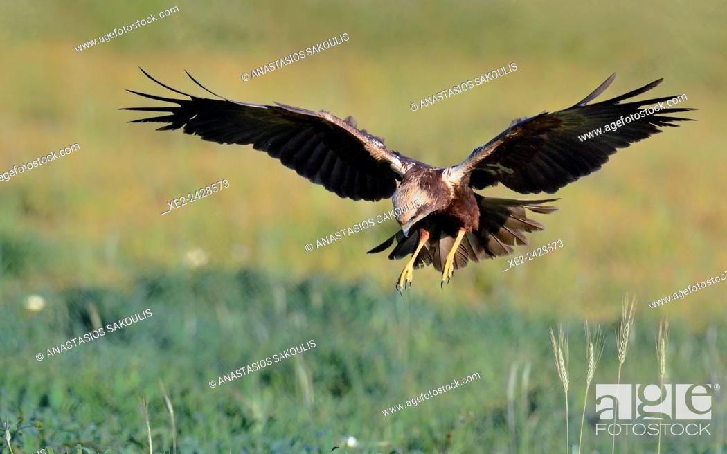 Imagen: Marsh Harrier Circus aeroginosus, Crete.