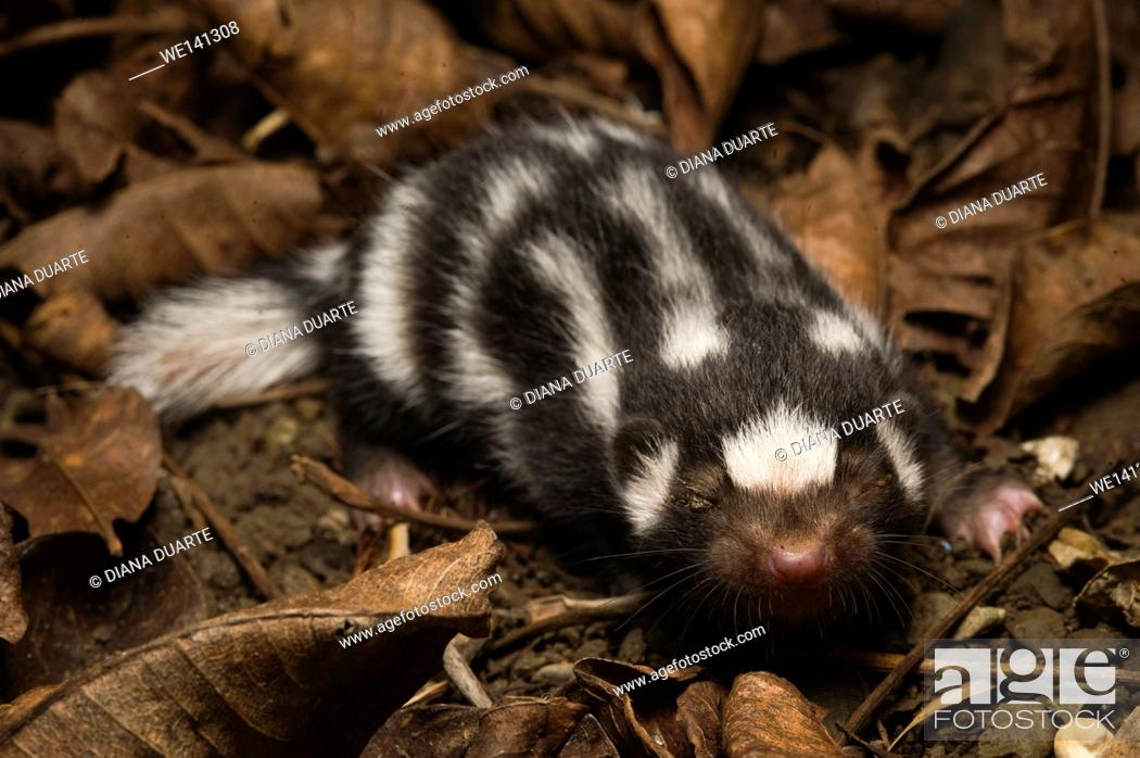 """Stock Photo: """"""""""""""""""""Skunk"""""""" (Mephitidae), Spotted skunks are particularly efficient hunters because they are quick and are able to follow rodents into smaller spaces than can."""
