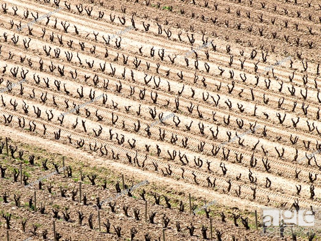 Stock Photo: Plantación de viñas en invierno en la Rioja Alta - Briñas - La Rioja - España.