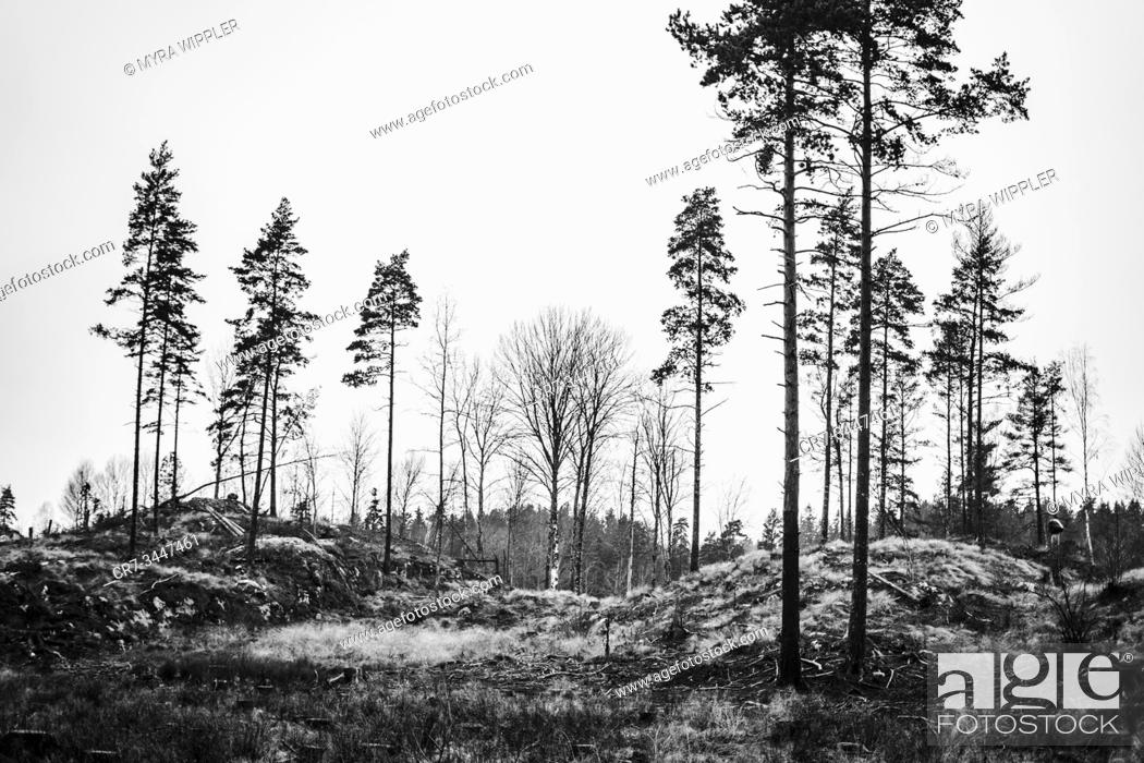 Stock Photo: Black and white silhouette of old pine trees left from a clearcut wood production in Östergötland, Sweden.