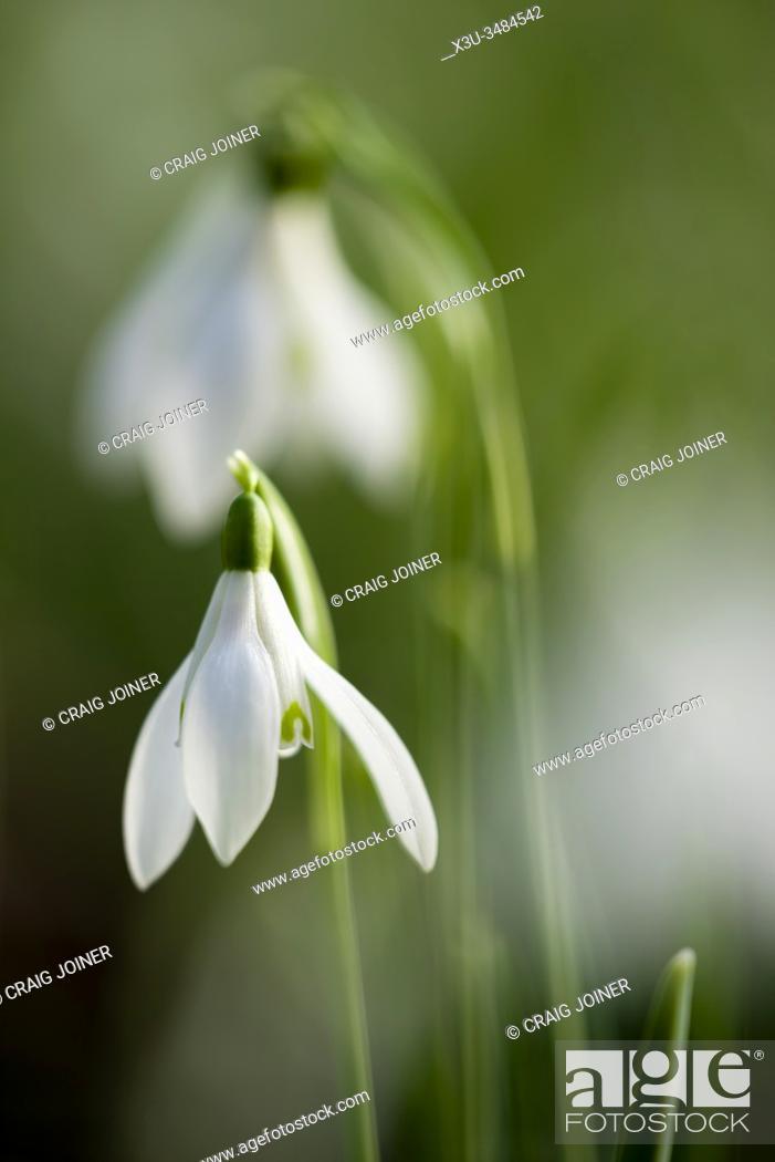 Stock Photo: Soft focus close up of Snowdrop (Galanthus nivalis) flowers.
