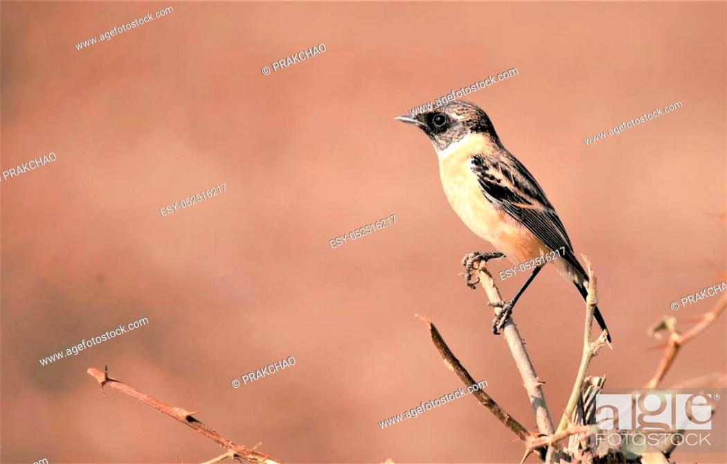 Stock Photo: The Siberian stonechat or Asian stonechat (Saxicola maurus) is a recently validated species of the Old World flycatcher family (Muscicapidae).