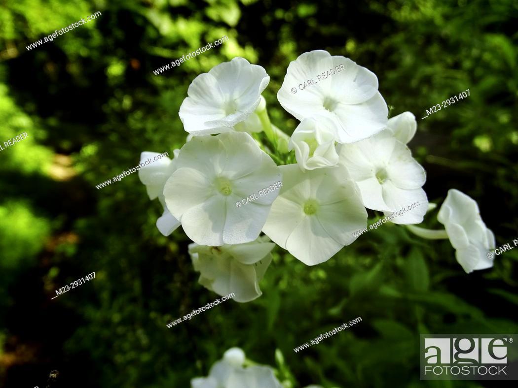 Rare white rocket flowers in summer pennsylvania usa stock photo stock photo rare white rocket flowers in summer pennsylvania usa mightylinksfo