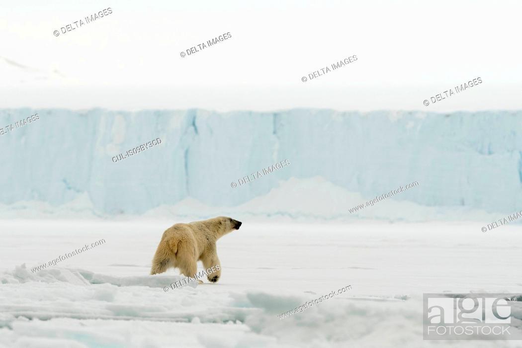Photo de stock: Polar bear (Ursus maritimus on polar ice cap, Austfonna Nordaustlandet, Svalbard, Norway.