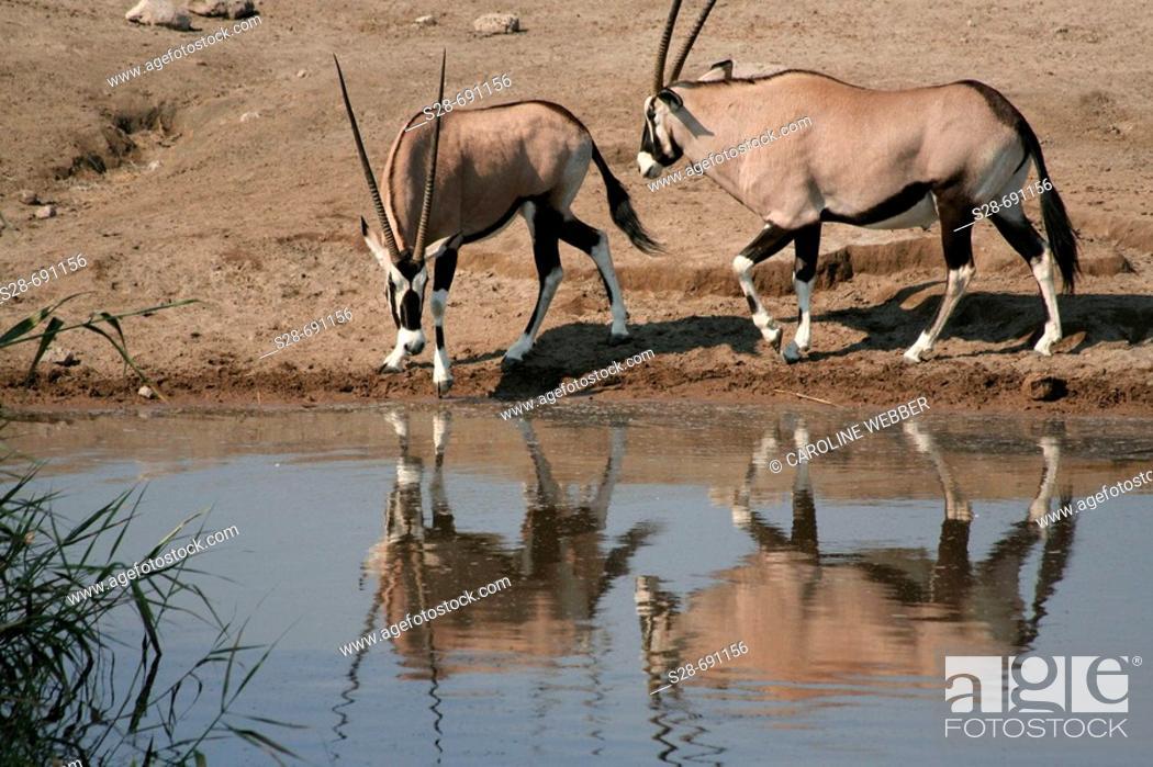 Stock Photo: Gemsbok at waterhole, Etosha National Park. Namibia.