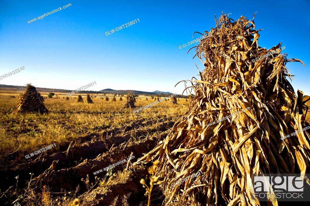 Stock Photo: Maize in a harvested field, Hidalgo, Mexico.