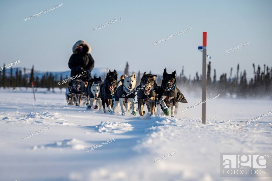 Imagen: Jessie Royer approaches the Cripple checkpoint during the Iditarod Sled Dog Race 2014.