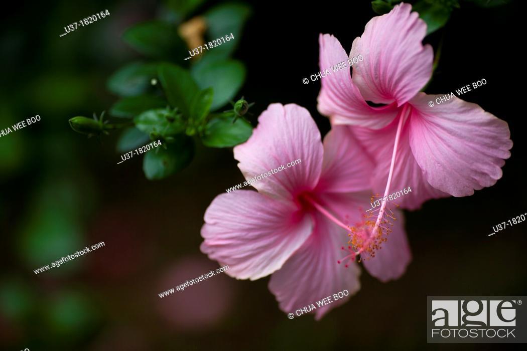 hibiscus theme