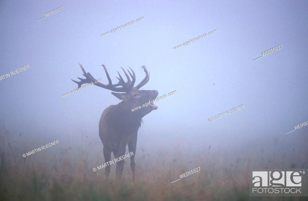 Stock Photo: Red Deer (Cervus elaphus). Denmark.