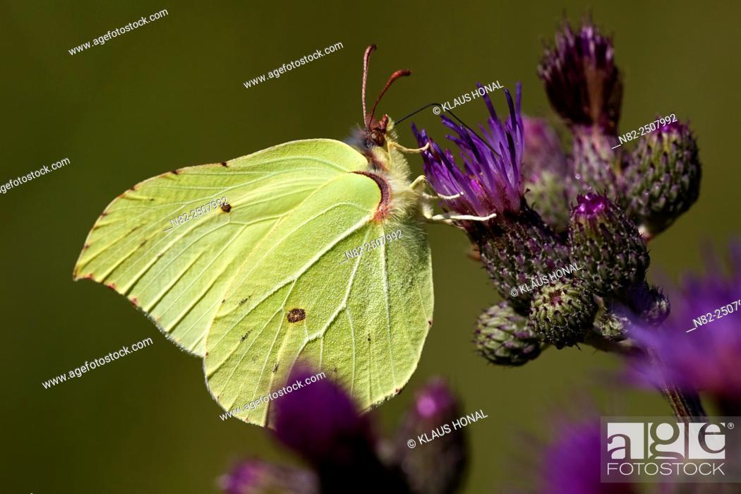 Stock Photo: Brimstone Butterfly Gonepteryx rhamni sucking nectar - Hesselberg region, Bavaria/Germany.