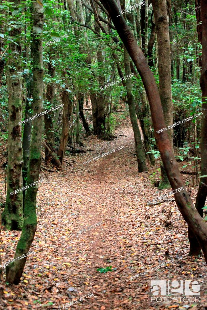 Stock Photo: path or trail in mount Anaga forest near Pedro Alvarez hamlet . Tenerife island. spain.