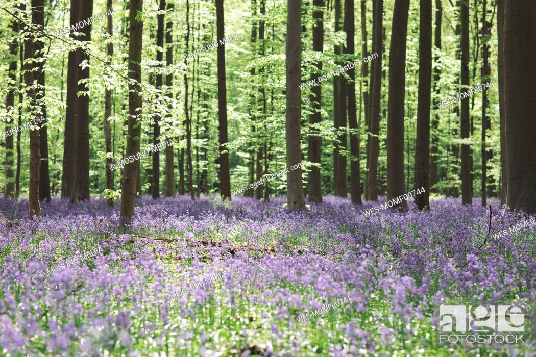 Stock Photo: Trees and bluebell flowers growing in Hallerbos National park, Belgium.
