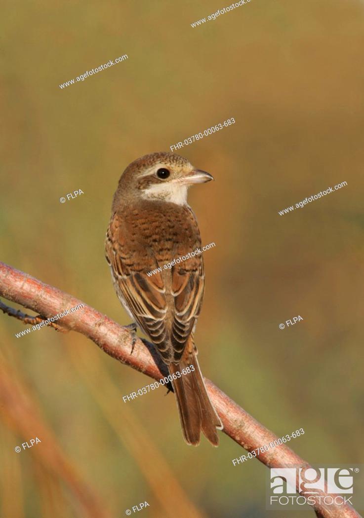 Stock Photo: Red-backed Shrike Lanius collurio autumn immature, perched on twig, Turkey, october.