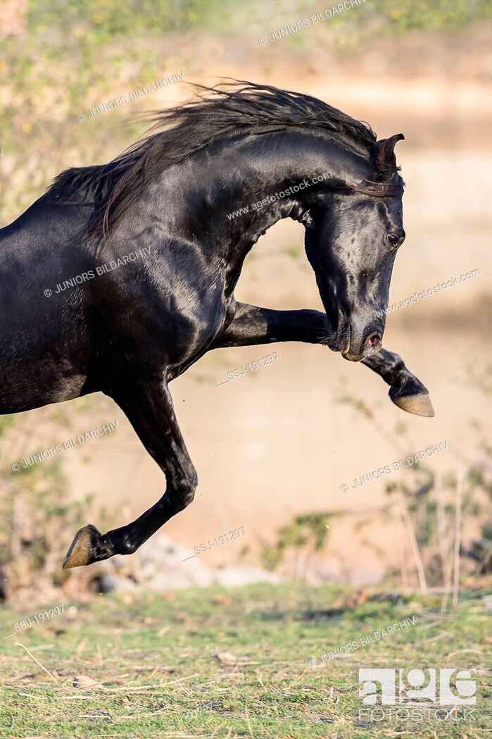 Imagen: Marwari Horse. Black stallion showing display behaviour in a pasture. India.