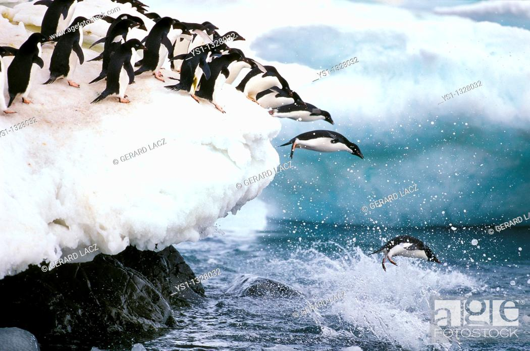 Stock Photo: ADELIE PENGUIN pygoscelis adeliae, GROUP LEAPING INTO WATER, PAULET ISLAND IN ANTARCTICA.