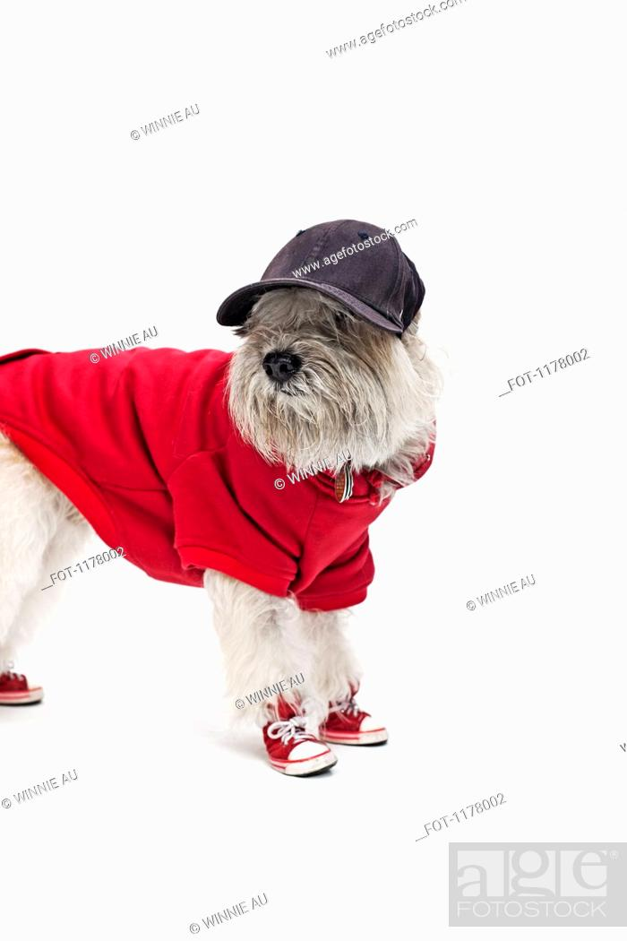 Stock Photo: A Maltipoo wearing a baseball uniform and cap.