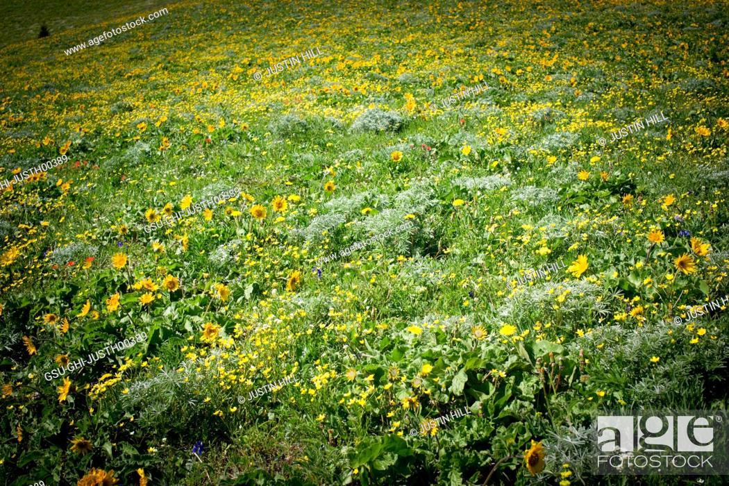 Stock Photo: Field of Yellow Wildflowers.