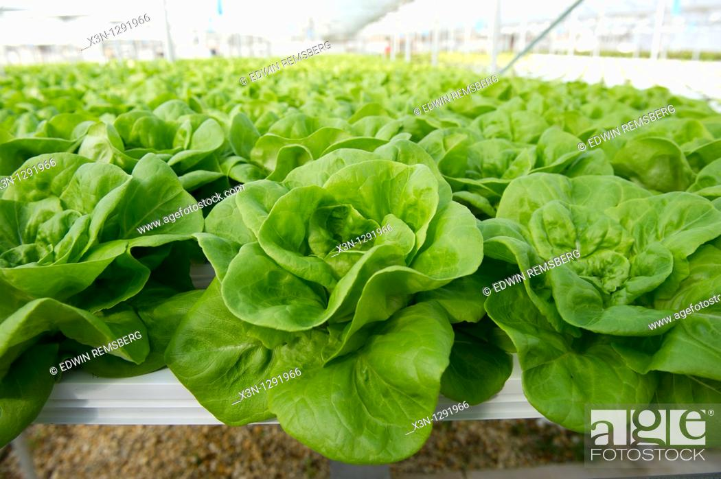 Stock Photo: Greenhouse of Hydroponic Lettuce.