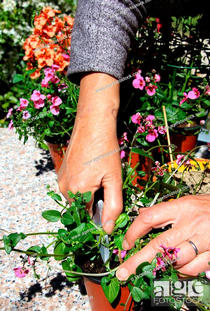 Stock Photo: Step by step of cuttings of Diascia flower.