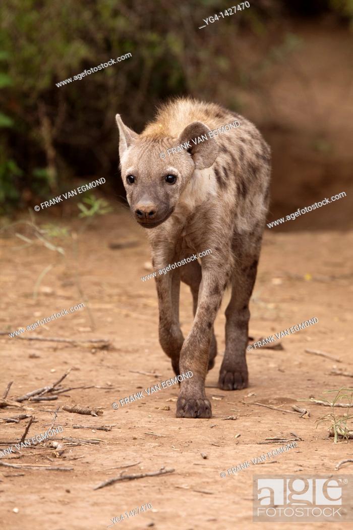 Stock Photo: Spotted Hyena Crocuta crocuta   Mashatu Game Reserve  Tuli block, Botswana  November 2010.