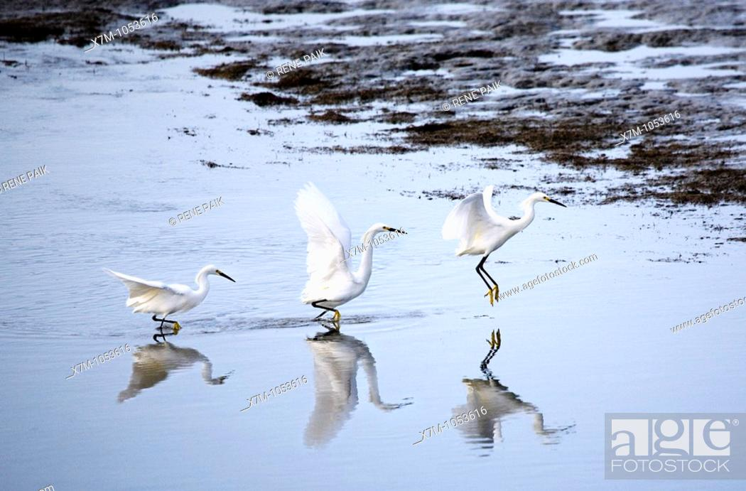 Stock Photo: Sequence shot of snowy egret egretta thula taking flight in Alameda, California.