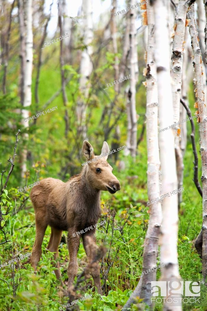 Stock Photo: Three week old moose calf walking in a forested area, Gaspesie National Park, Quebec, Canada.