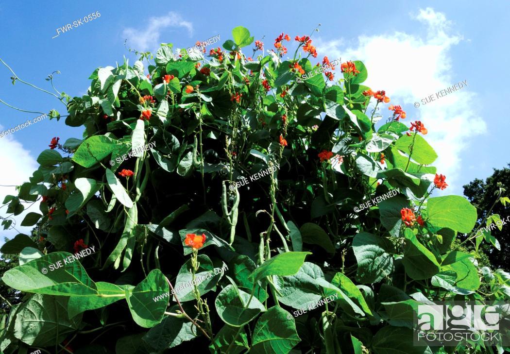 Stock Photo: Brassica oleracea acephala, French bean.