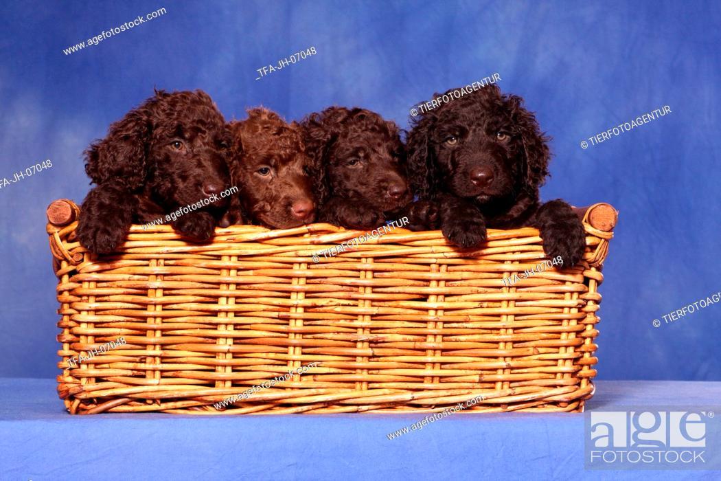 Photo de stock: irish water spaniel puppies.