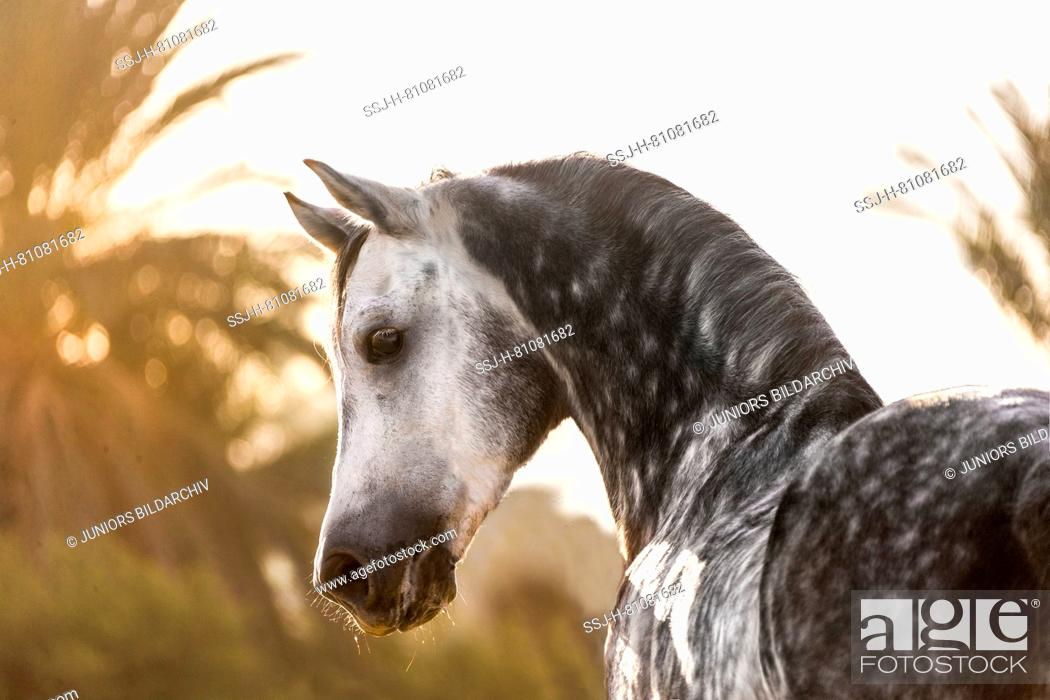 Purebred Arabian Horse Portrait Of Grey Stallion Egypt Stock Photo Picture And Rights Managed Image Pic Ssj H 81081682 Agefotostock