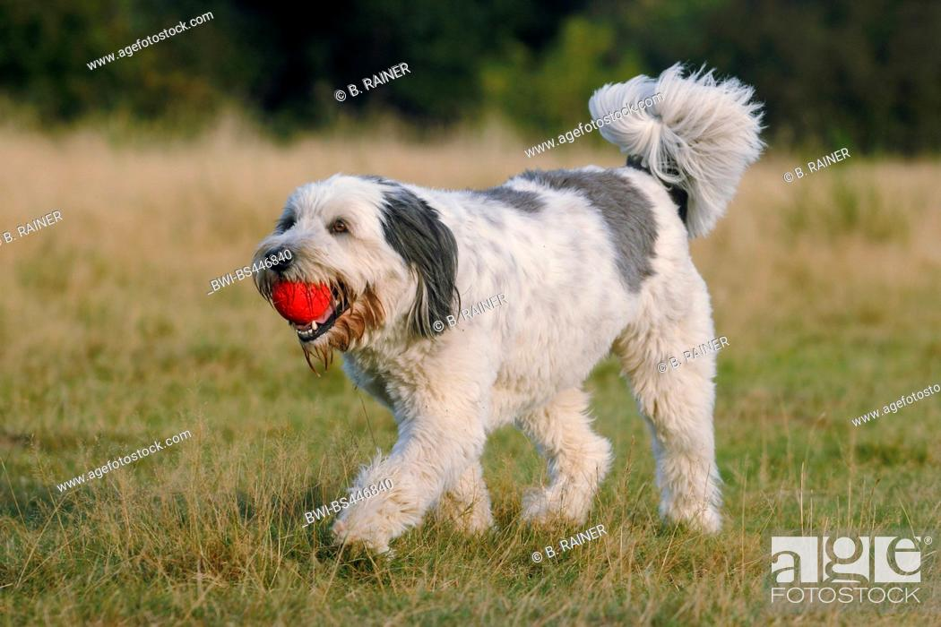 Stock Photo: Polish Lowland Sheepdog, PON (Canis lupus f. familiaris), three years old trimmed she dog walking in a meadow with a red ball in the mouth, Germany.