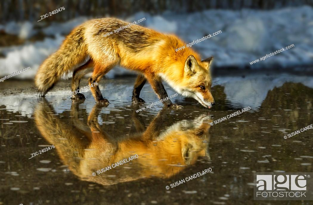 Imagen: Red Fox Has A Drink - Male Red Fox (Vulpes vulpes) drinks from a puddle of water created from the melting snow, on a beautiful sunny winter afternoon.