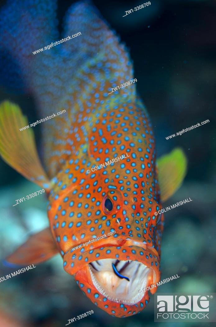 Stock Photo: Red Coral Grouper (Cephalopholis miniata) with open mouth being cleaned by Bluestreak Cleaner Wrasse (Labroides dimidiatus), Nudi Rock dive site.