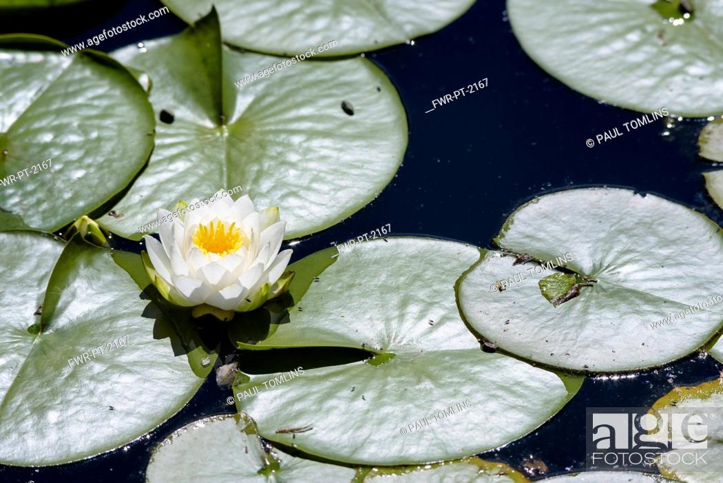 Stock Photo: Water lily, White water lily,Nymphaea alba, Single flower growing outdoor on water.
