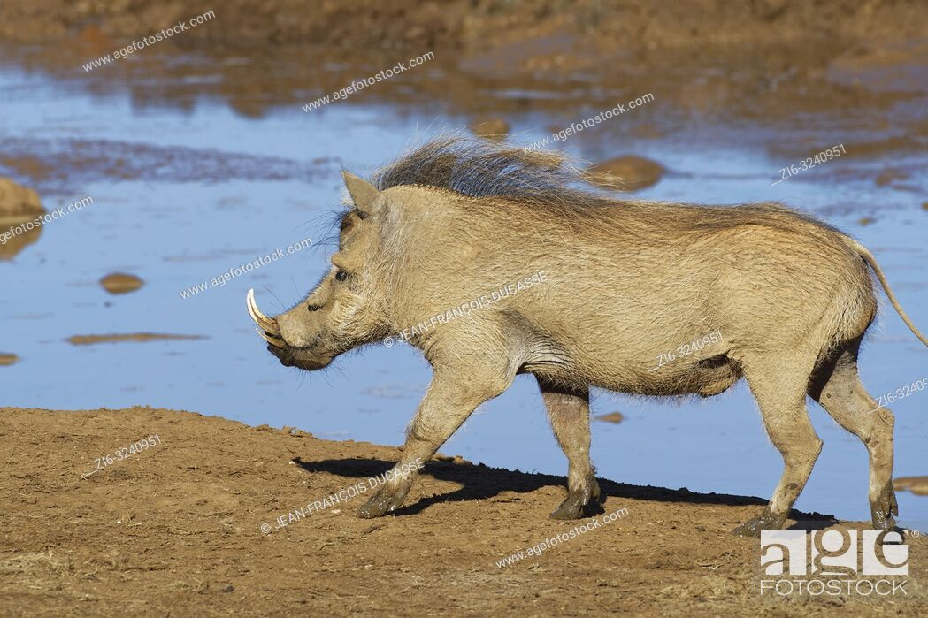 Stock Photo: Common warthog (Phacochoerus africanus), adult male, walking at a waterhole, Addo Elephant National Park, Eastern Cape, South Africa, Africa.