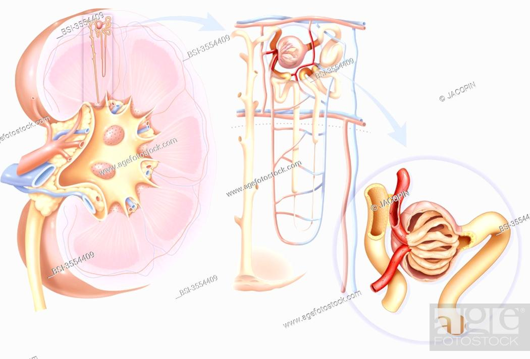 From The Kidney To The Glomerulus Representation From Left To Right