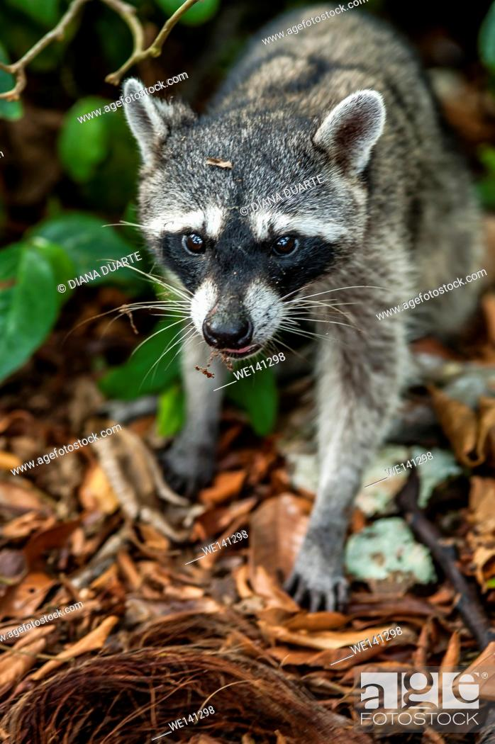 """Stock Photo: """"""""""""""""""""Raccoon"""""""" (Procyon lotor), tend to be nocturnal but it is not uncommon to spot a raccoon during the day. Cahuita National Park, Costa Rica."""