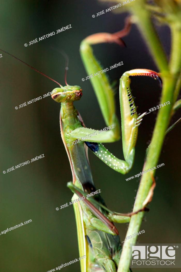 Stock Photo: Praying Mantis (Mantis religiosa).