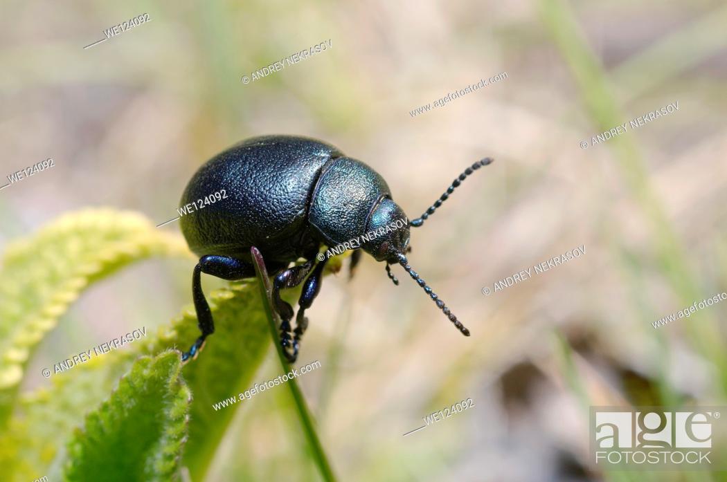 Stock Photo: Leaf beetle (Timarcha tenebrionis) Odessa region, Ukraine.