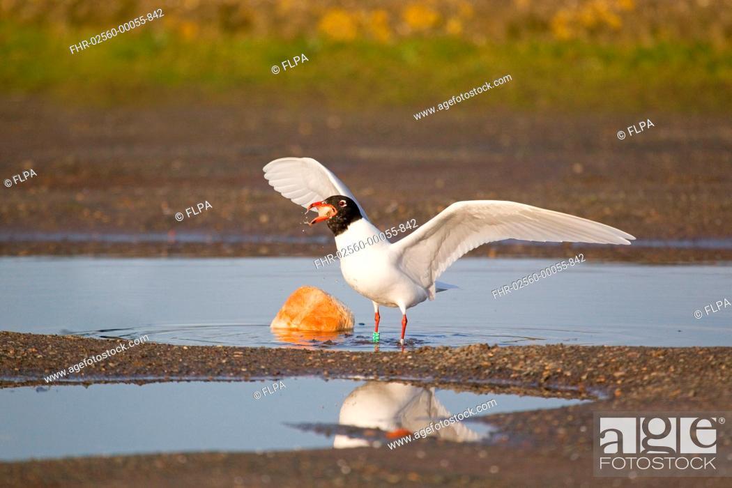 Stock Photo: Mediterranean Gull Larus melanocephalus adult, summer plumage, feeding on bread in pool, Suffolk, England, february.