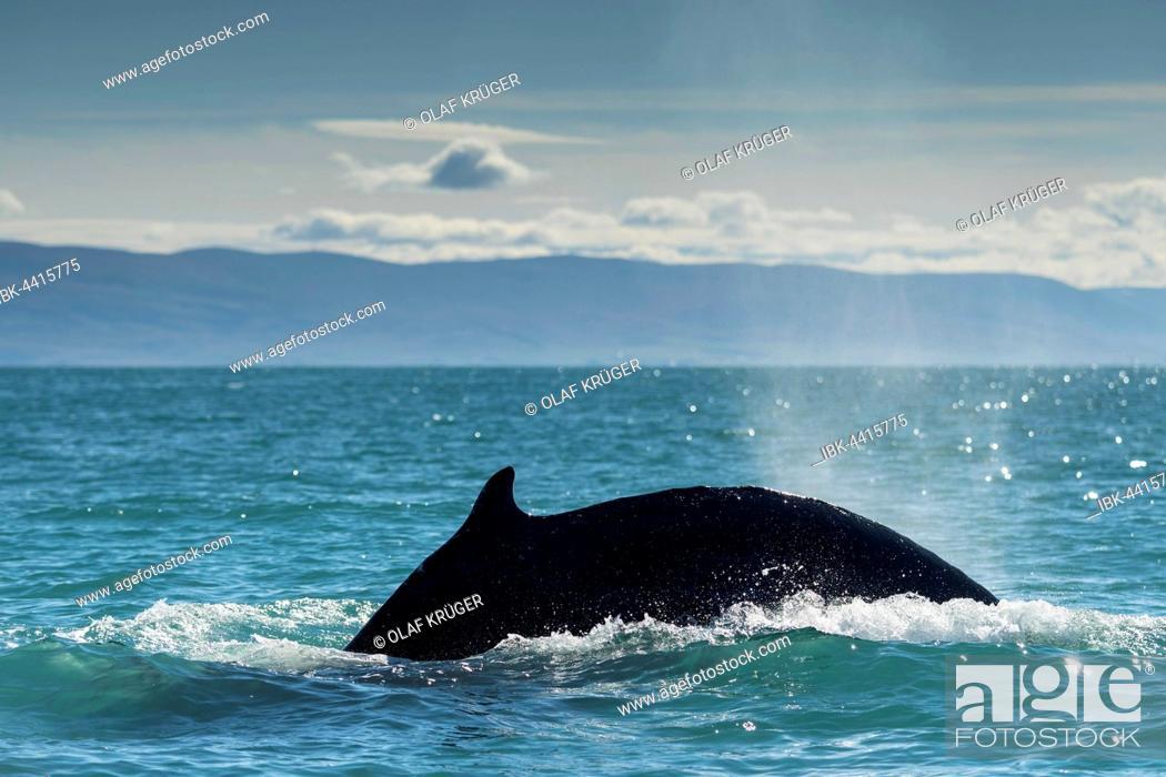 Stock Photo: Diving, humpback whale (Megaptera novaeangliae), Eyjafjörður, Iceland.