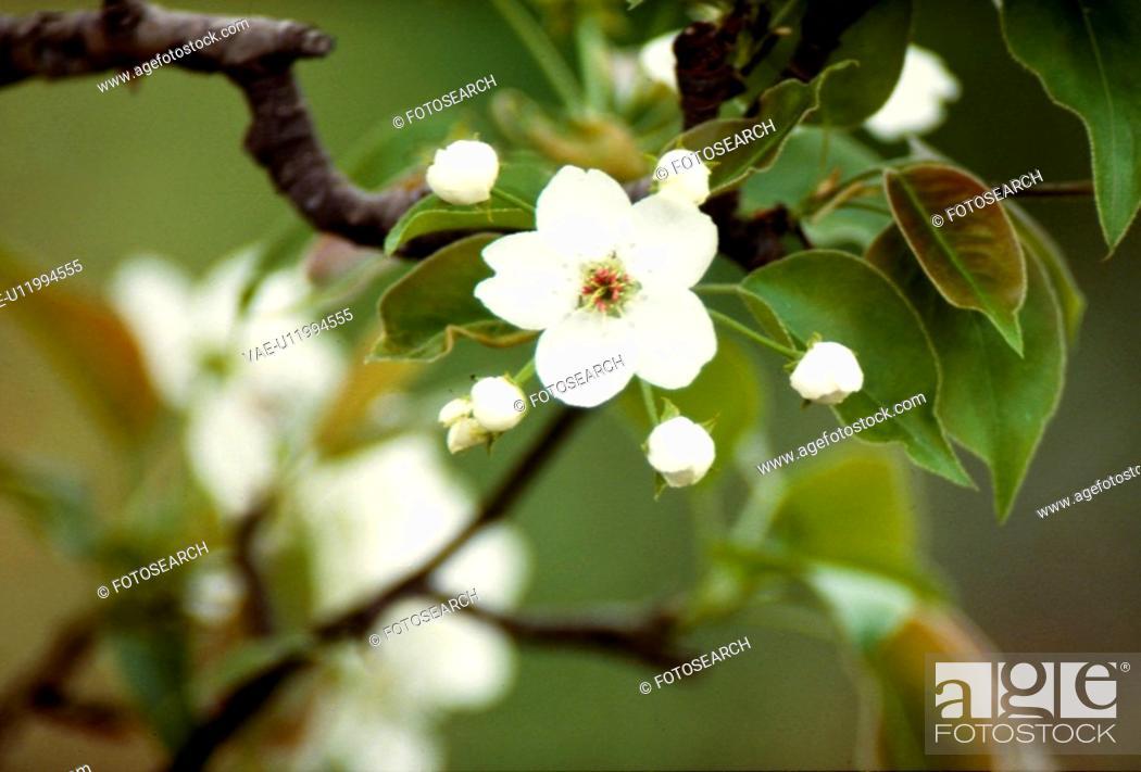 Stock Photo: flower, nature, apple blossom, apple tree, scene, flowers, landscape.
