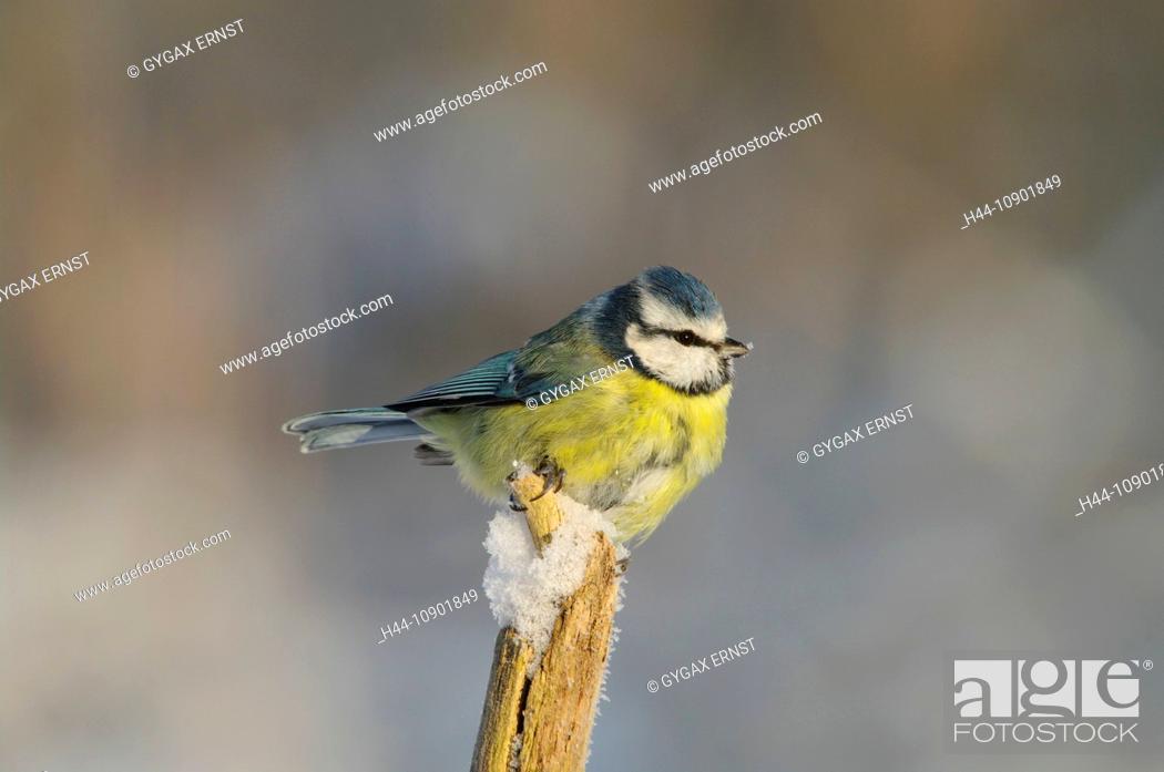 Stock Photo: Swiss, Switzerland, Rheineck, avian, songbird, bird, birds, animal, blue tit, tit, forest, little.