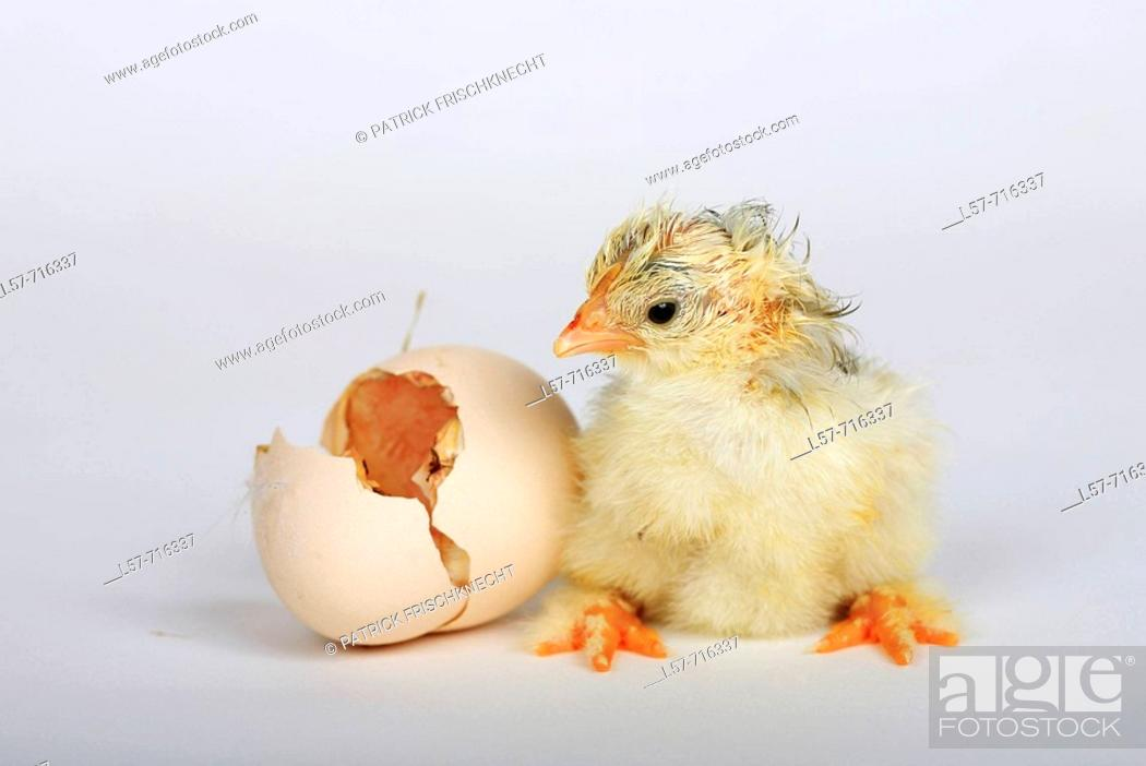 Stock Photo: Chick standing next to egg shell, 4 hours old, Switzerland.