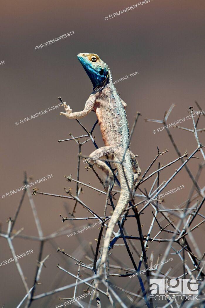 Stock Photo: Ground Agama (Agama aculeata) adult, climbing in bush, Kalahari Gemsbok N.P., Kgalagadi Transfrontier Park, Northern Cape, South Africa, December.