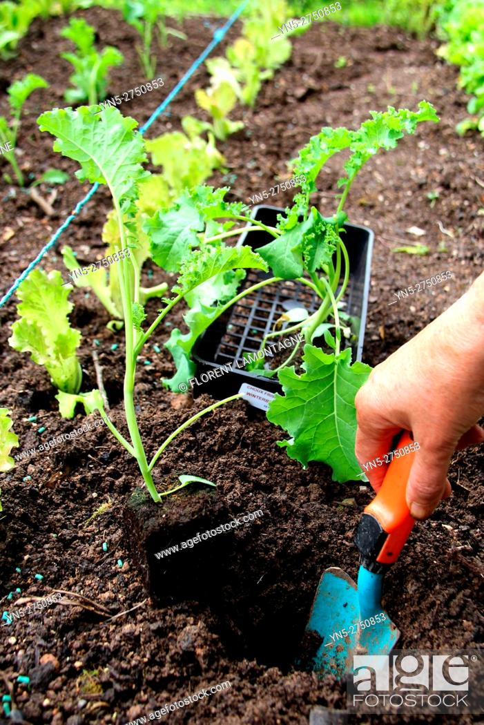 Stock Photo: seedling of a cabbage kale 'Winterbor' in a vegetable garden.