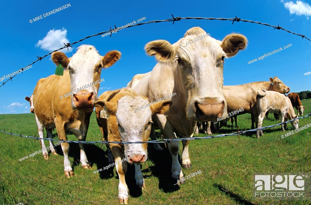 Barbed wire fence cattle Woven Wire Stock Photo Livestock Curious Crossbred Beef Cattle On Green Pasture Stare Through Barbed Wire Fence Near Rathwell Manitoba Canada Getty Images Livestock Curious Crossbred Beef Cattle On Green Pasture Stare