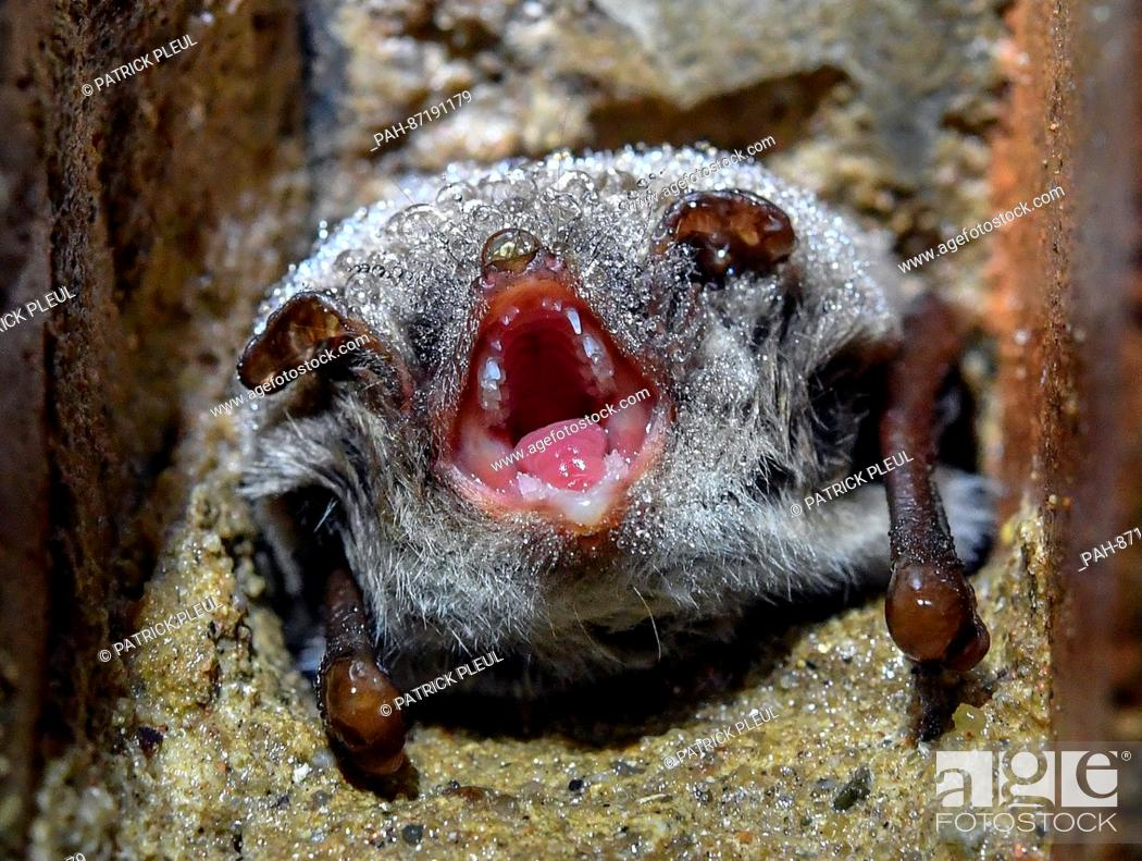 A Myotis Daubentonii Bat Covered In