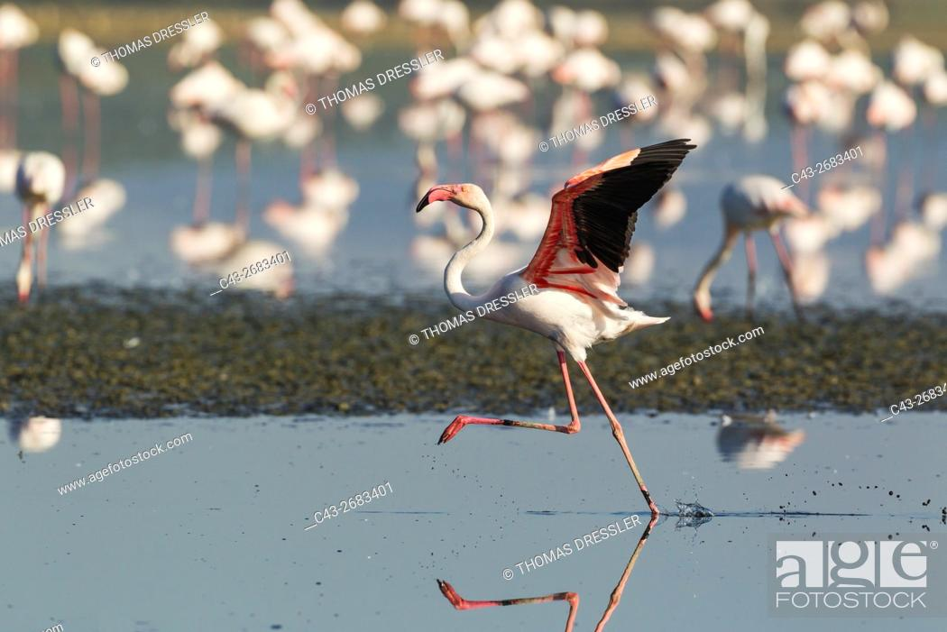 Stock Photo: Greater Flamingo (Phoenicopterus roseus) - Running at the Laguna de Fuente de Piedra near the town of Antequera. This is the largest natural lake in Andalusia.